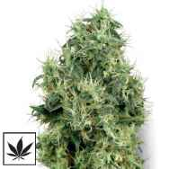 White Label Seeds White Gold