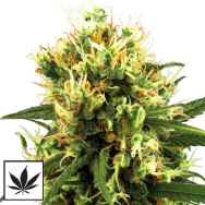 White Label Seeds White Haze Automatic