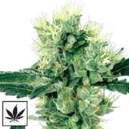 White Label Seeds White Haze