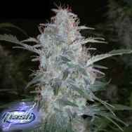 Flash Autoflowering Seeds White Sirius