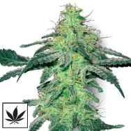 White Label Seeds White Skunk