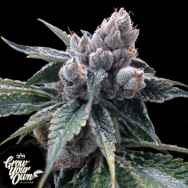GYO by DNA Genetics White Walker Kush