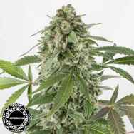 Dinafem Seeds White Widow AUTO