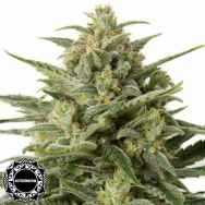 Dinafem Seeds White Widow XXL AUTO