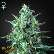Green House Seeds White Widow AUTO CBD