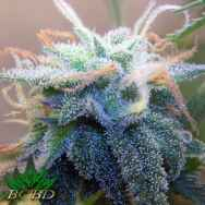 BC Bud Depot Seeds White Widow
