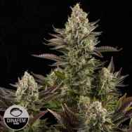 Dinafem Seeds White Widow