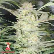 Medical Seeds White Widow