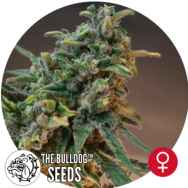 The Bulldog Seeds White Widow