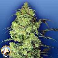 Flying Dutchmen Seeds White Widow