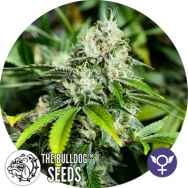 The Bulldog Seeds White Widow Extreme
