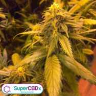 SuperCBDx Seeds White Widow x SCBDX