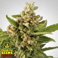 Freedom Seeds White Witch