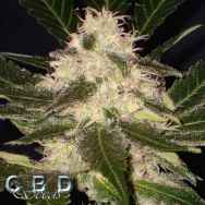 CBD Seeds Widow