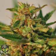 Reeferman Seeds Willie Nelson