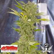 Alpine Seeds X-Dog