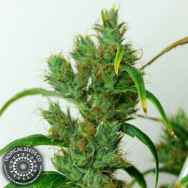 Tropical Seeds - Buy Securely Online Premium Quality Marijuana Seeds