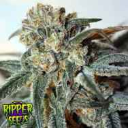 Ripper Seeds Zombie Kush