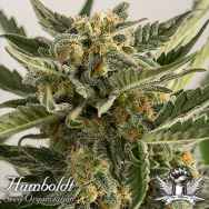 Humboldt Seed Organization AUTOMATIC Lost Coast Skunk