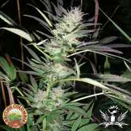 British Columbia Seeds Purple Lightning