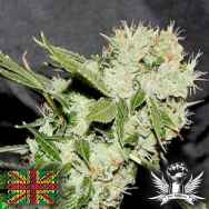 Connoisseur Genetics Seeds Cheese'N'Chaze