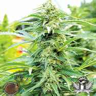 Emerald Triangle Seeds Cherry OG
