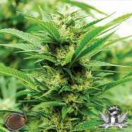 Emerald Triangle Seeds Emerald Jack