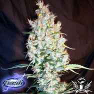 Flash Autoflowering Seeds Speedy Ganja