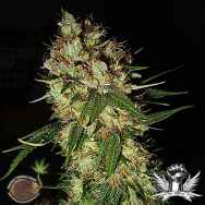Emerald Triangle Seeds G13 X Blueberry Headband