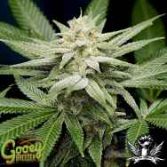 Gooeybreeder Seeds Pure Gooey