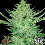 Emerald Triangle Seeds Headlights Kush Auto