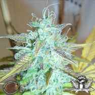 Emerald Triangle Seeds Lemon Haze Auto