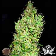 Emerald Triangle Seeds OG Critical
