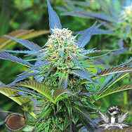 Emerald Triangle Seeds Royal Purple Kush