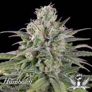 Humboldt Seed Organization AUTOMATIC U.K. Cheese