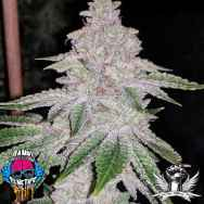 Dank Genetics Seeds Fresh Orange