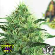 Ripper Seeds Sideral