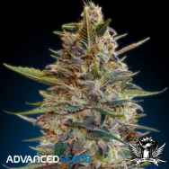 Advanced Seeds Auto Blue Diesel
