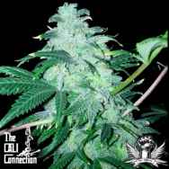Cali Connection Seeds 22
