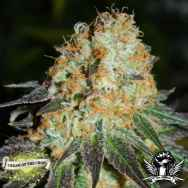 Cream of the Crop Seeds Cash Crop Auto
