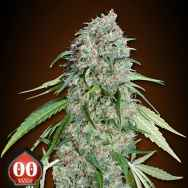 00 Seeds Chocolate Skunk CBD