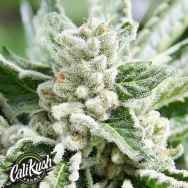 Cali Kush Farms Genetics King Mamba