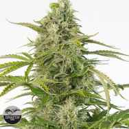 Dinafem Seeds Cheese AUTO CBD