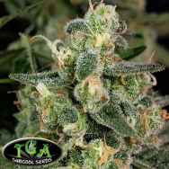 TGA Subcool Seeds Cosmic Glue