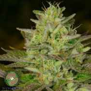 Dynasty Genetics Seeds Huckleberry Diesel