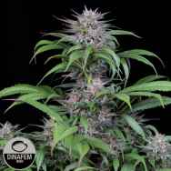 Dinafem Seeds Quick Kush