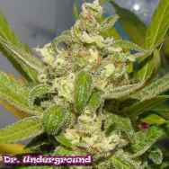 Dr. Underground Seeds American Beauty