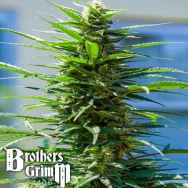 Brothers Grimm Seeds Rosetta Stone XX