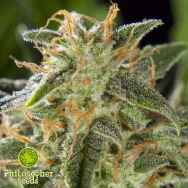 Philosopher Seeds Lemon Auto CBD