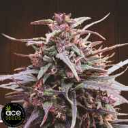 Ace Seeds Purple Haze x Malawi